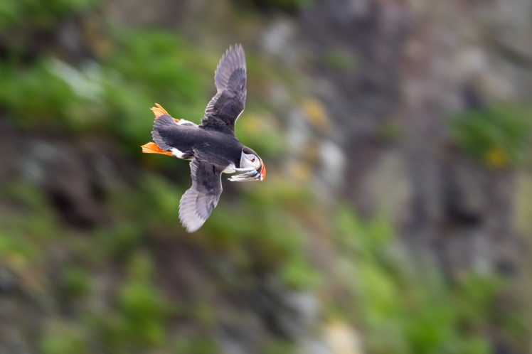 Flying Puffin-1