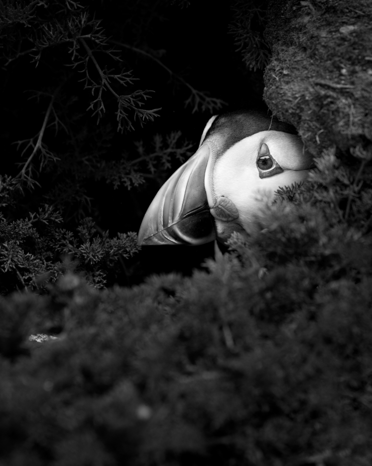 K1_Puffin_In_The_Burrow