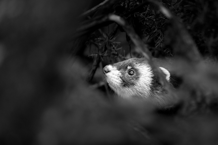 Polecat (1 of 5)