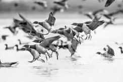 British birds black and white-2