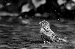British birds black and white-3