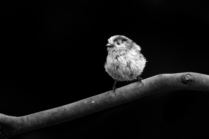 British birds - black and white