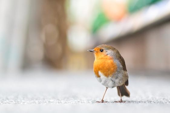 British Birds Colour-3