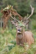 Deer - Bushy Park 1-2