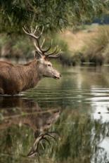 Deer - Bushy Park 1