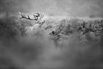 Deer - Bushy Park-3