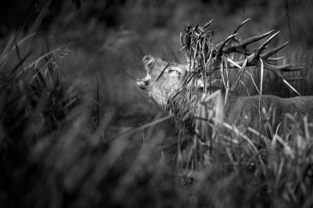 Deer - Bushy Park-6
