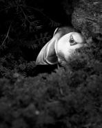 Puffins - skommer-3
